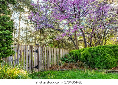 Idyllic garden in Virginia with wooden fence door gate entrance by bushes and redbud pink purple spring springtime flowers on tree and sun in sky with nobody