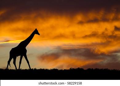 Idyllic giraffe silhouette under fiery African sky.