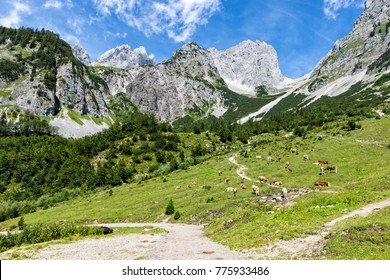Idyllic landscape in the Alps with cows grazing on fresh green alpine pastures with high mountains. Austria, Tirol, Wilder Kaiser.