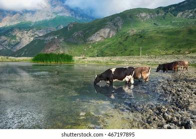 Idyllic landscape,  Cows on watering at mountain lake