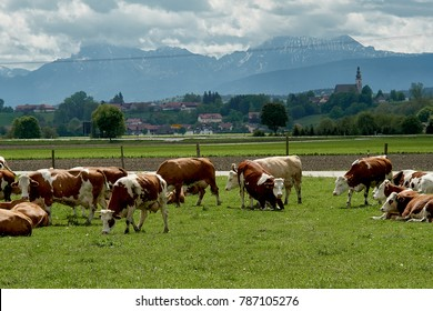 Idyllic landscape in front of the Alps with cows