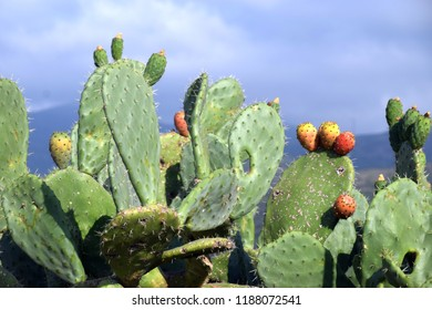 idyllic landscape on sardinia with cactus plant and blue sky, fruits of Opuntia ficus-indica a species of cactus of sardinia