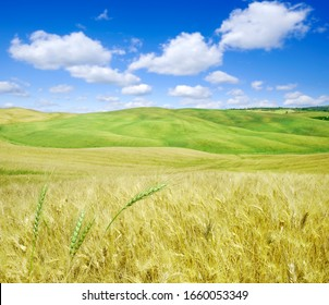 Idyllic landscape, rolling fields of golden and green grain, in the background clear blue sky with blue clouds