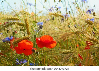 Idyllic Poppys and cornflowers in the grain field, Lüneburg Heath, Northern Germany. Backlit Photograph