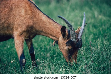 Idyllic scene of an alpine goat on a pasture