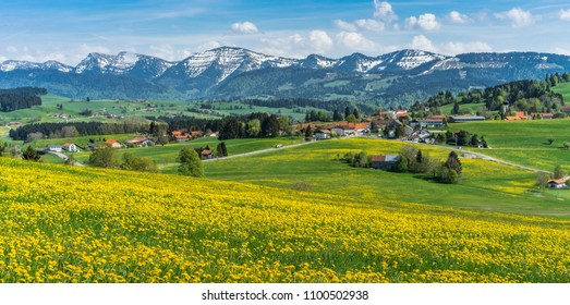 idyllic spring landscape with green meadows and yellow flowers, still snow on the mountains in the Allgaeu area of the bavarian alps, near Oberstaufen,Germany