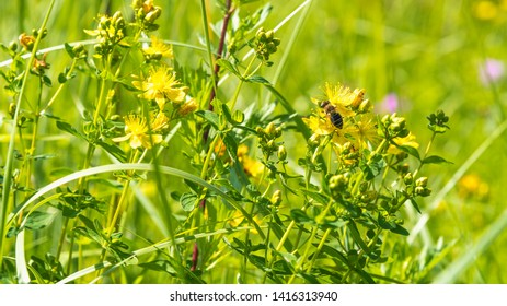 Idyllic summer, autumn rural background - honey bee collects nectar on wildflowers in a meadow
