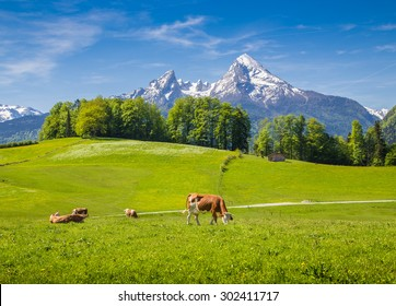Idyllic summer landscape in the Alps with cow grazing on fresh green mountain pastures and snow capped mountain tops in the background, Nationalpark Berchtesgadener Land, Upper Bavaria, Germany