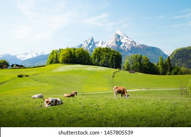 Idyllic summer landscape in the Alps with cows grazing on fresh green mountain pastures and snow capped mountain tops in the background