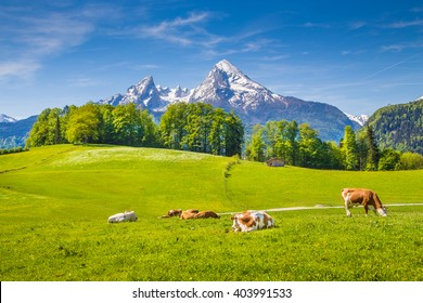 Idyllic summer landscape in the Alps with cows grazing on fresh green mountain pastures and snow capped mountain tops in the background, Nationalpark Berchtesgadener Land, Upper Bavaria, Germany