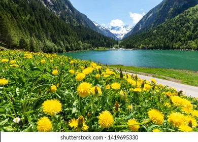 Idyllic summer landscape with mountain lake and yellow dandelion flowers in the foreground. Austria, Tyrol, Stillup Lake, Zillertal