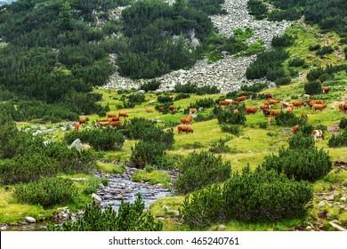 Idyllic summer landscape in the mountains with cows grazing on fresh green mountain pastures in the green valley and the mountain peaks in the background, Bulgaria, Pirin mountain range