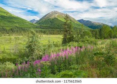 Idyllic summer landscape scene from Alaska, USA. Pink fireweed in foreground of scene, green pasture in  mid-ground, and green hills and blue sky in background