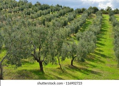 Idyllic Tuscan rural  landscape  with olives trees, Vall d'Orcia Italy, Europe.