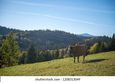 idyllic view of the Carpathian mountains in fall with beautiful autumn colors and snow tipped peaks with a cow in the pasture