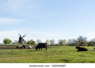 Idyllic view with grazing cattle in a green pastureland with an old windmill at the swedish nature reserve by Horns Kungsgard on the island Oland