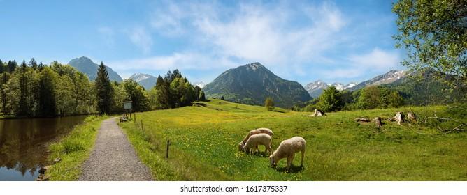 Idyllischer Wanderweg entlang des Moorseesl bei Oberstdorf mit Blick in die Allgäuer Alpen. Weidende Schafe. Frühlingslandschaft Süddeutschland.