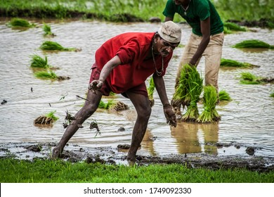 Igatpuri, Maharashtra - June 2012: Indian Farmer Sowing Rice Saplings by hand. Rice Farming. Trans plantation. Muddy Field. Indian Agriculture. Rural India.