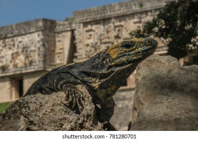 Iguana in ancient ruins of Mayan city