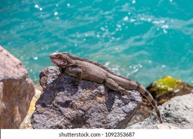 Iguana Basking in Sun