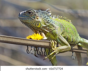 Iguana basks in the sun and is going to eat dandelions