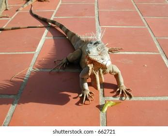 Iguana in Bonaire, Antilles