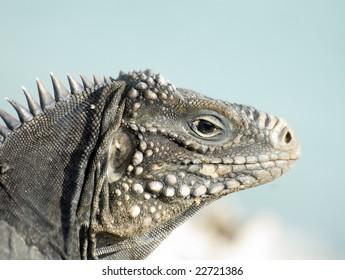 iguana in Cayo Largo. Cuba