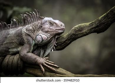 Iguana closeup