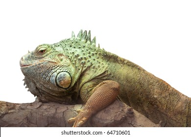 Iguana closeup side view isolated on white background,
