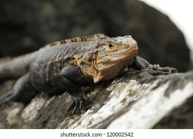 Iguana - Costa Rica