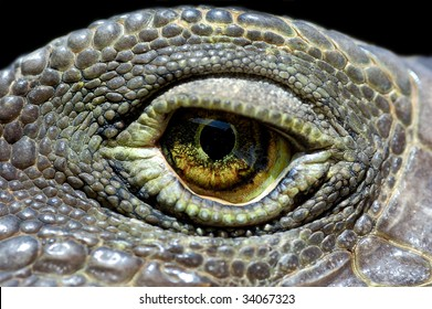 Iguana eye close-up