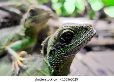 Iguana fellows in zoo.