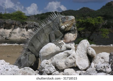 iguana in front of a lagoon and green hills in Washington-Slagbaai National Park, Bonaire, Netherlands Antilles