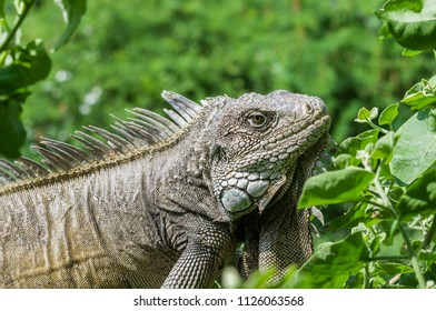 Iguana in green leaves roof, South America, Ecuador. / Iguana, Iguanidae