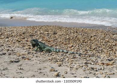 Iguana at Guadeloupe