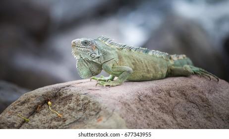 Iguana in guadeloupe