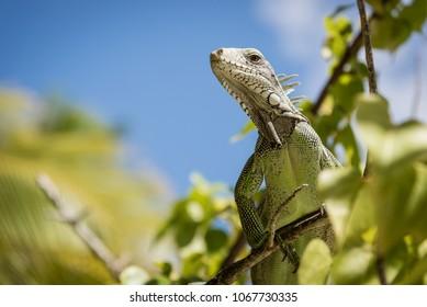 Iguana, Guadeloupe, France