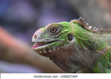 iguana Guadeloupe island