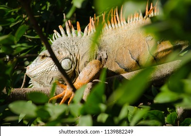 Iguana hidden behind branches and leaves