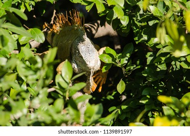 Iguana hiding in the shadows of a tree