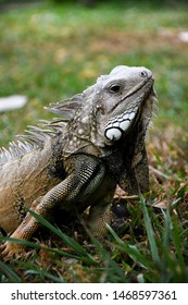iguana in hunting position  observe