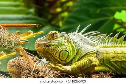 Iguana iguana. Iguanidae. Iguana lizard. Iguana iguana close up