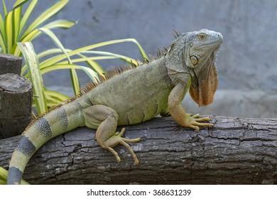 Iguana (Iguanidae),prehistoric reptiles