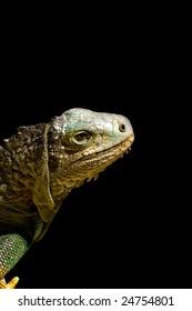 Iguana isolated on black