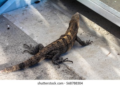 Iguana lazing around in the sun