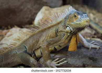 Iguana lizard with an attitude look