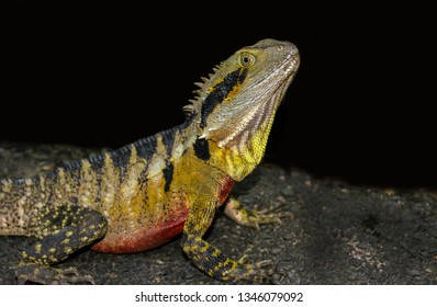 iguana lizard looking out in rainforest asutralia, reptile portrait isolated on black
