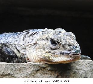 Iguana Lizard on a Rock