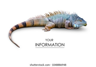 Iguana lizard pattern on white background isolation