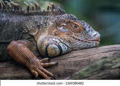 iguana lizard portrait in Parque das Aves, Foz do Iguacu, Brasil, Birds park, Foz de Iguazu Brazil